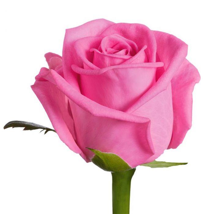 """Розовая роза """"Аква"""""""