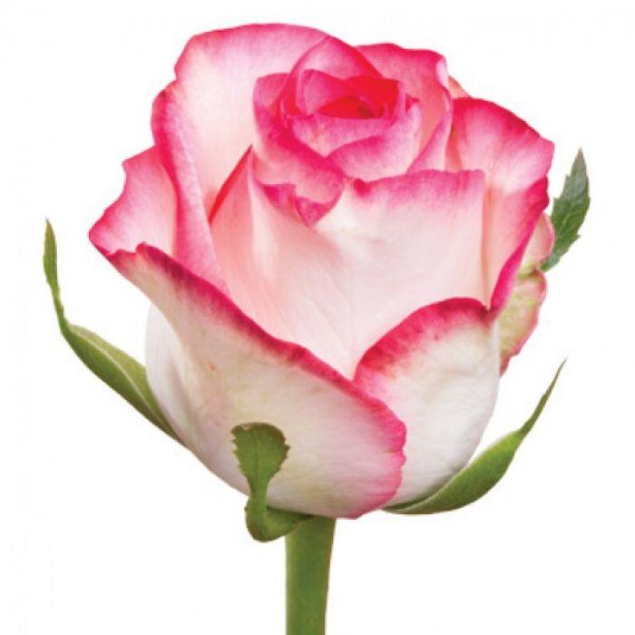 "Розовая роза ""Джумилия"""