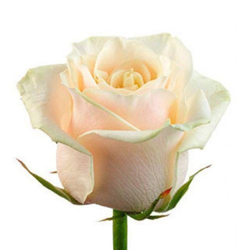 """Кремовая роза """"Талея"""" оптом 70см."""