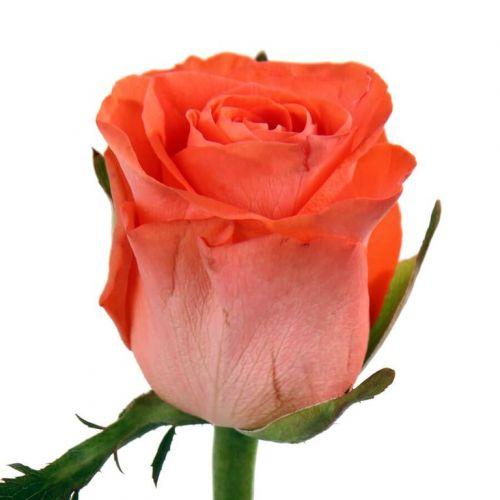"""Роза  """"Вау"""" оптом 70см."""