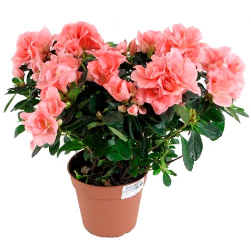 Азалия розовая в горшке