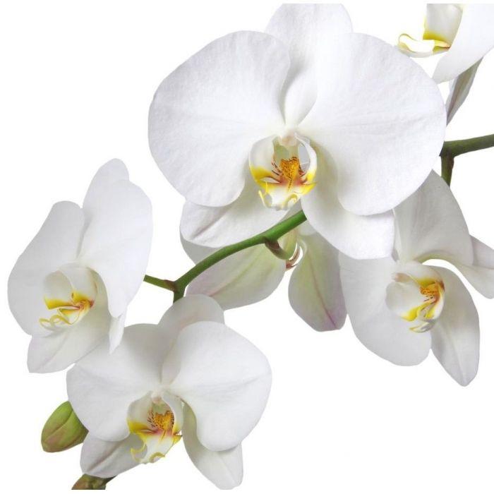 Белая орхидея фаленопсис