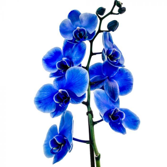 Голубая орхидея фаленопсис