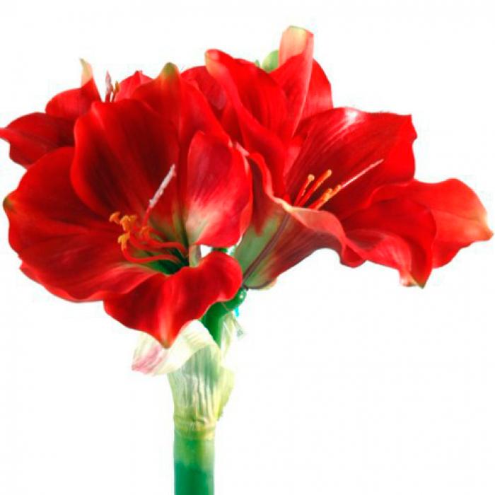 Красный амариллис в горшке