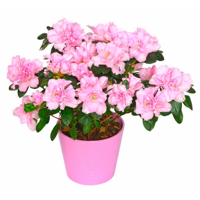 Розовая азалия в горшке