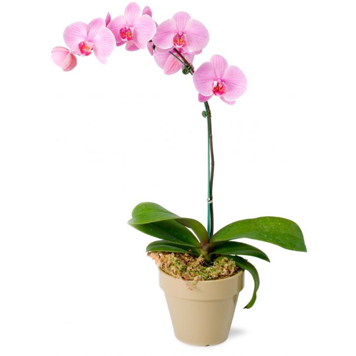 Светло-розовая орхидея фаленопсис