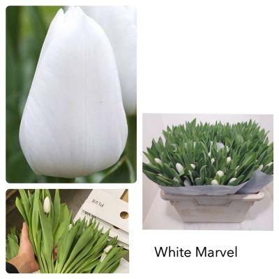 Белый тюльпан шт оптом