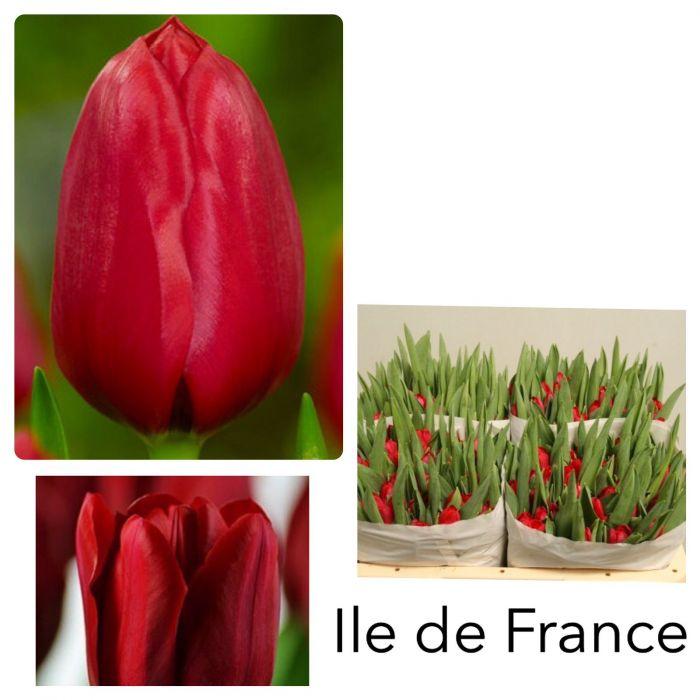 Красные тюльпаны поштучно  оптом