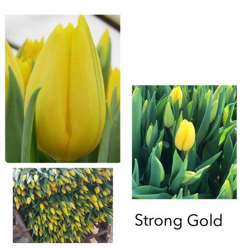 Тюльпан желтый шт  оптом