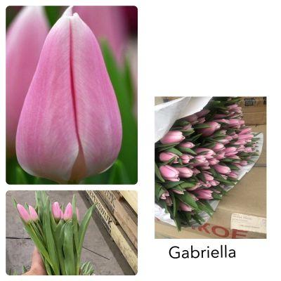 Тюльпан нежно-розовый шт  оптом