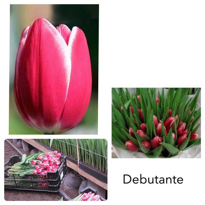 Тюльпан розовый с белым ободком