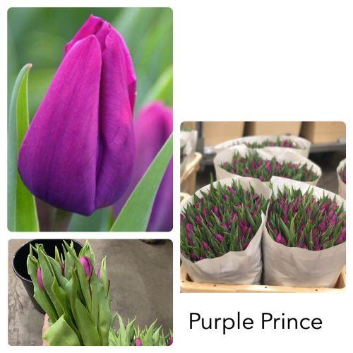 Тюльпан фиолетовый шт  оптом